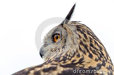 Buho de águila europeo