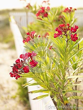 Buisson fleurissant rouge d oléandre.