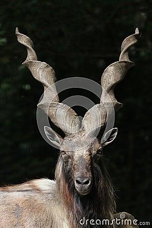 Free Bukharan Markhor (Capra Falconeri Heptneri). Stock Images - 56542494