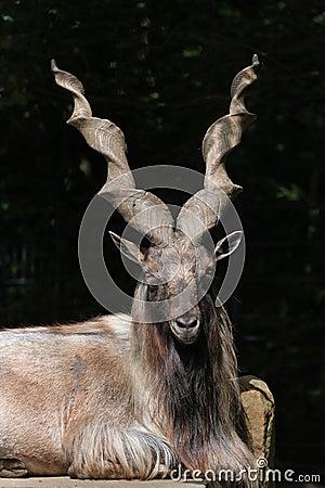 Free Bukharan Markhor (Capra Falconeri Heptneri). Stock Images - 56698414