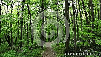Bukowy drewno - steadicam krajobraz przy wiosną zbiory