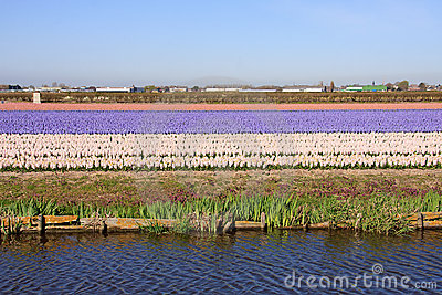 Bulb field of pink hyacinths