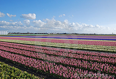 bulb-fields hyacinths Holland