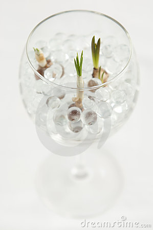 Bulb Flowers Growing in Hydrogel Balls