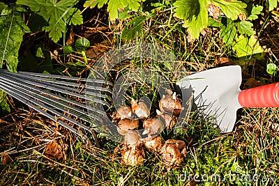 Bulbos de flor en el jardín