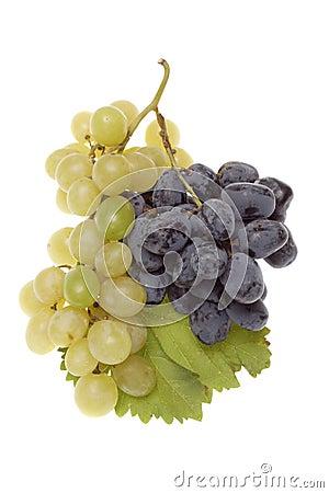 Bulgarian blue grape cluster