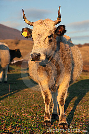 Bulgarian gray cattle