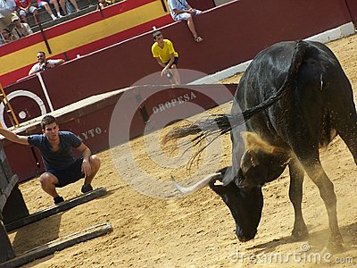 Bull in arena in Oropesa del mar Editorial Stock Photo