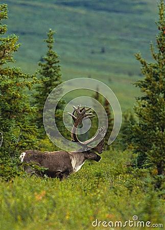 Bull Caribou in Velvet