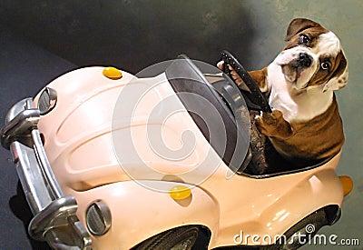 Bull dog in pink car