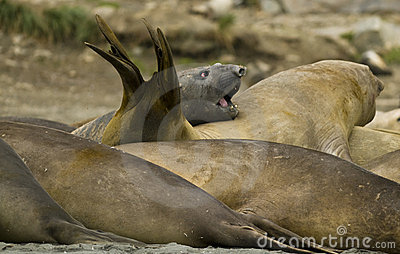 Bull Elephant Seals attempting to sleep.