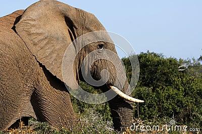 Bull elephant walking