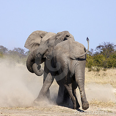 Bull Elephants Fighting - Botswana