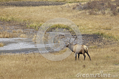 Bull Elk Approaching a Pond