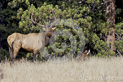 Bull Elk and Bedded Cow