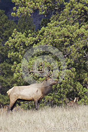 Bull Elk with Bedded Cow