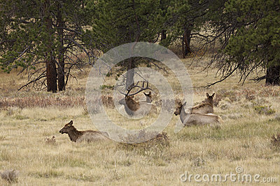 Bull Elk Bedded With Cows