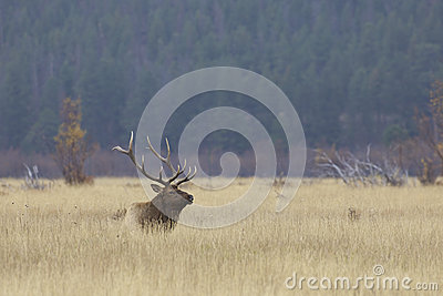 Bull Elk Bedded in Grass