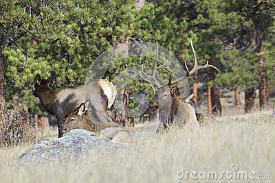 Bull Elk Bedded With Harem