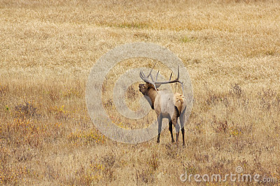 Bull Elk Bugling in Meadow