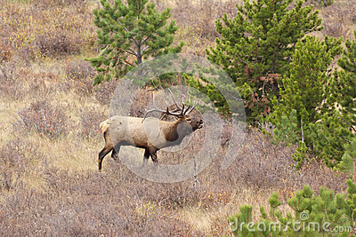 Bugling Bull Elk in Meadow