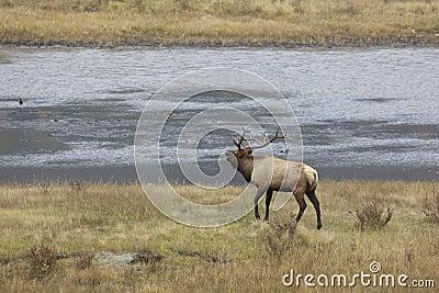 Bull Elk Bugling by Pond