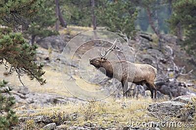 Bull Elk Calling