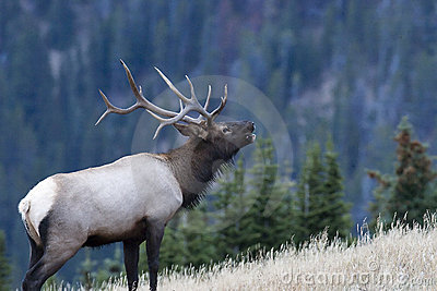 Bull elk calling in the woods