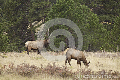 Bull Elk and Cow