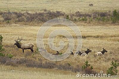 Bull Elk And Cows