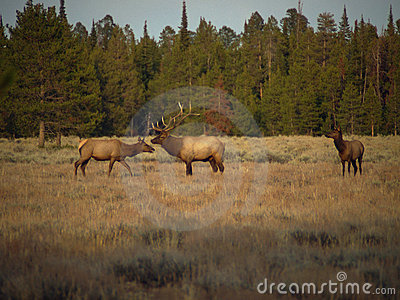 Bull Elk and Cows