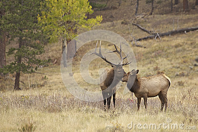 Bull Elk and Cute Calf Nuzzling