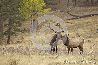Bull Elk and Cute Calf Nuzzling