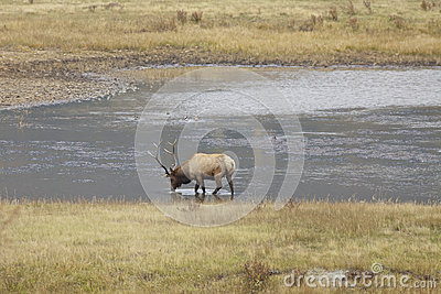 Bull Elk Drinking in Pond