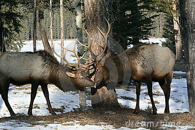 Bull elk  kissing  in Jasper National Park