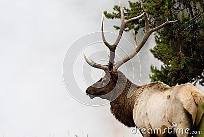 Bull Elk in Mist 4