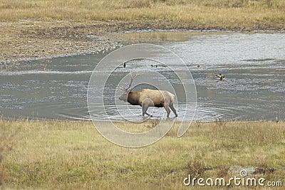 Bull Elk  in Pond