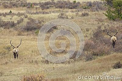 Bull Elk Posturing