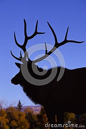 Bull Elk Silhoutte