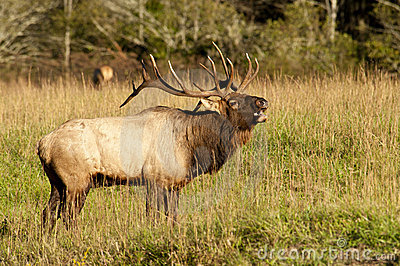 Bull elk sounding a bugle.