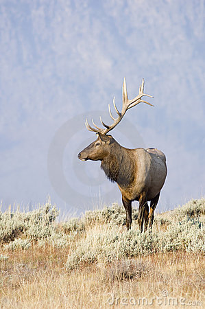 Free Bull Elk Standing On A Hill Royalty Free Stock Photo - 2093755