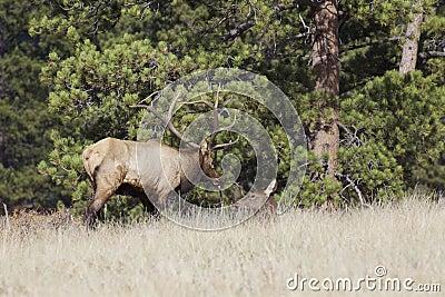 Bull Elk Tending a Cow
