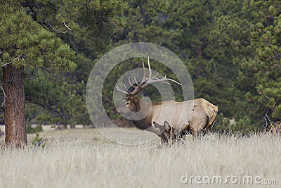 Bull Elk Tending a Cow in Rut