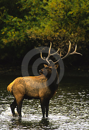 Bull Elk in Water