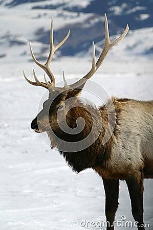 Free Bull Elk Winter Stock Image - 1569731