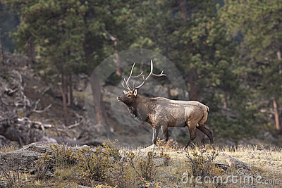 Bull elk in woods