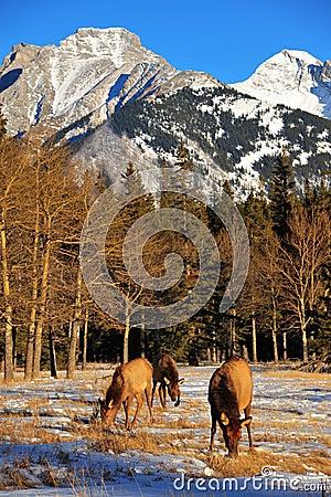 Free Bull Elks Royalty Free Stock Photo - 8193455