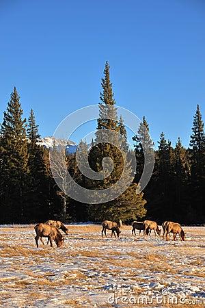 Free Bull Elks On Meadow Royalty Free Stock Image - 8155186