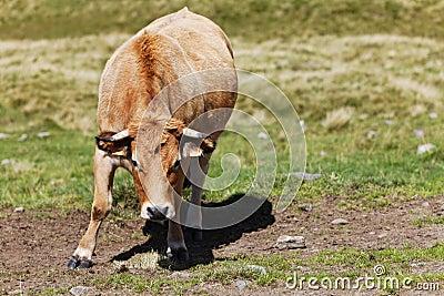 Bull in the field