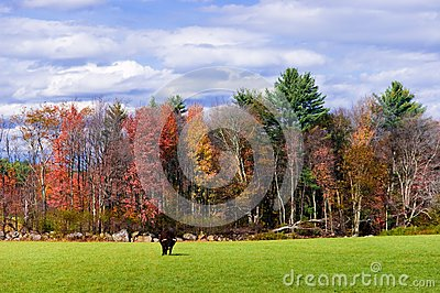 Bull in a field in Autumn